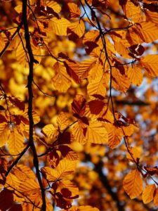 Closeup of thin tree branches with orange leaves during the fall