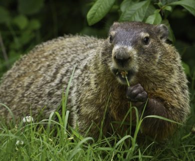 Groundhog Removal & Wildlife Control in Central Ohio: A groundhog feeds in a homeowner's yard.