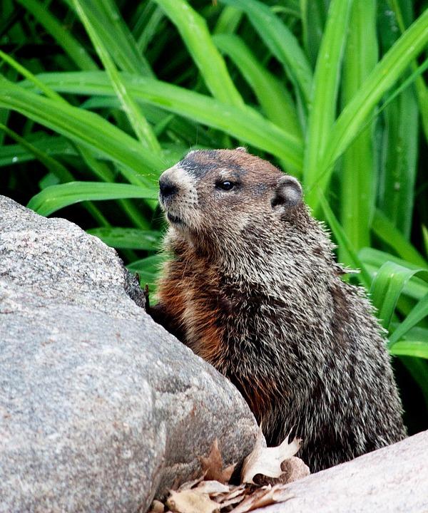 Columbus Oh Groundhog Removal Bws Groundhog Eradication