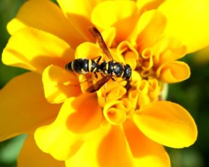 Yellowjacket Removal & Pest Control Services - Columbus, OH: A yellow jacket on a flower in a Columbus, OH yard.