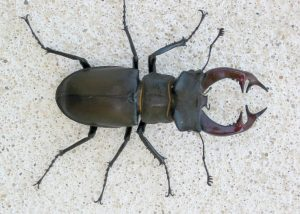 Giant Stag Beetle photo