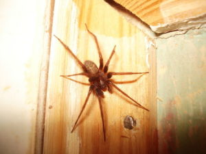 Glass Spider on a wooden wall