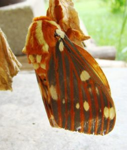 Photo of a Regal Moth up-side down