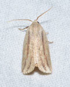 Photo of a feeble grass moth on a white background
