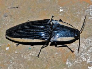 Click Beetle on a floor