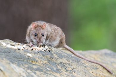 Rodents in Home: Winter Activity & Removal - Columbus, OH: A rat looks for food.