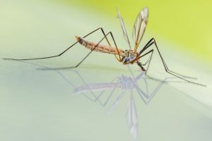 Mosquito on a reflective background
