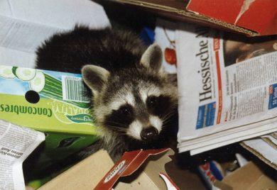 Raccoon looking through trash to find food