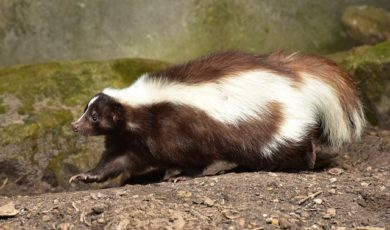 Get Rid of Skunks - Columbus, OH | Skunk Mating Season: A female skunk invades a Columbus, Ohio property. Call (844) 544-9453 for removal.