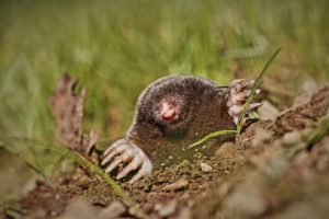 Get Rid of Moles in Dublin & Powell, Ohio - A mole digging up through a homeowner's lawn