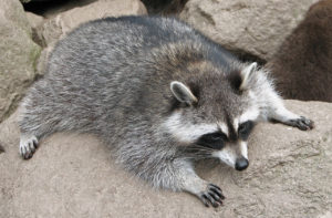 Columbus, Ohio Raccoons: A raccoon laying on a rock in Columbus, OH