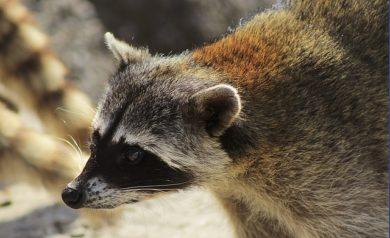 Get Rid of Raccoons During Maternity Season - Columbus, OH. A raccoon in Columbus, Ohio