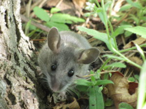 Deer Mouse in Columbus, Ohio