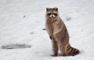Racoon Removal Service - Columbus, OH. A racoon in Columbus during breeding season.