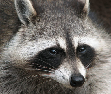 Closeup of a Raccoon Spotted in a Columbus Ohio yard.