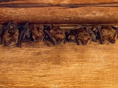 A colony of bats living in a Columbus homeowner's attic.