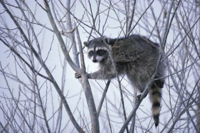 Find out what will scare a raccoon away.